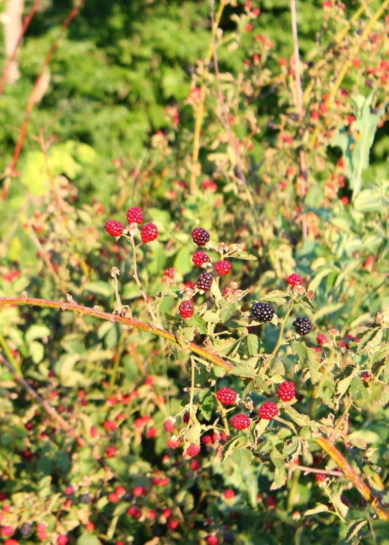 a black berry bush