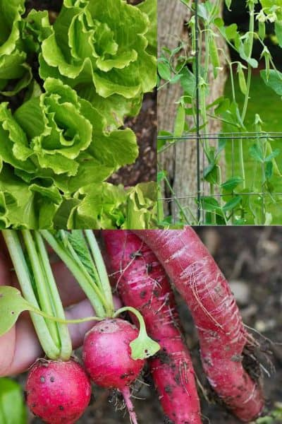 3 Easy Vegetables to Grow in Spring
