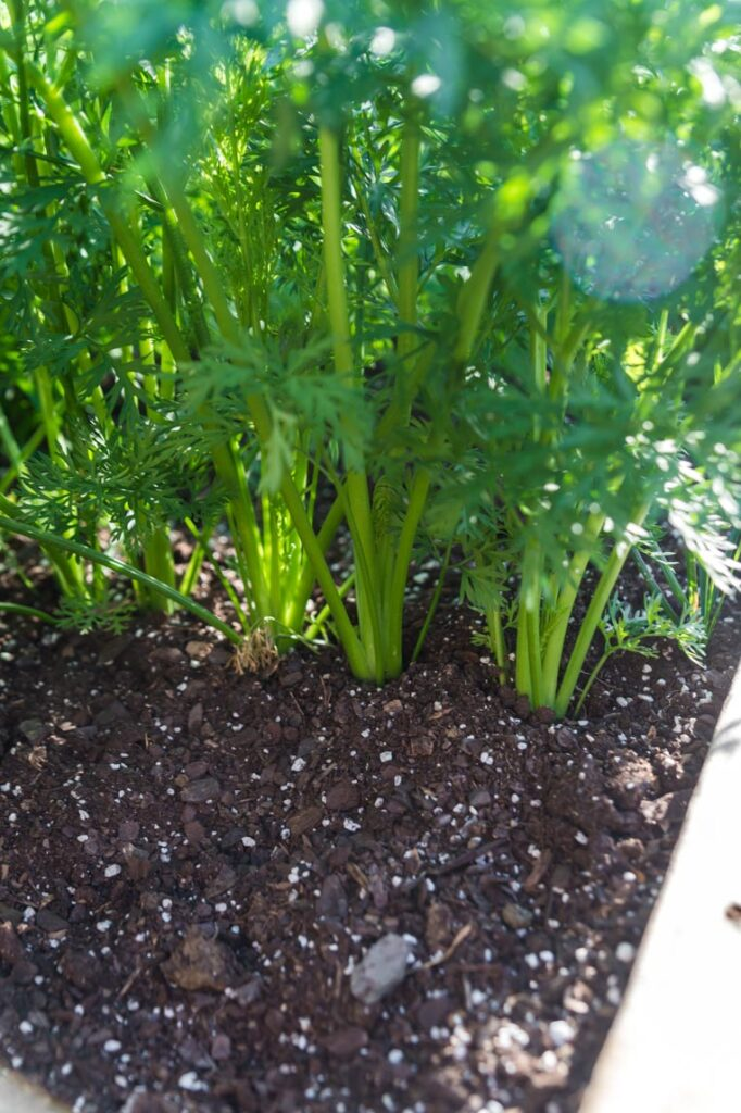 a row of carrots showing the base of them in the soil