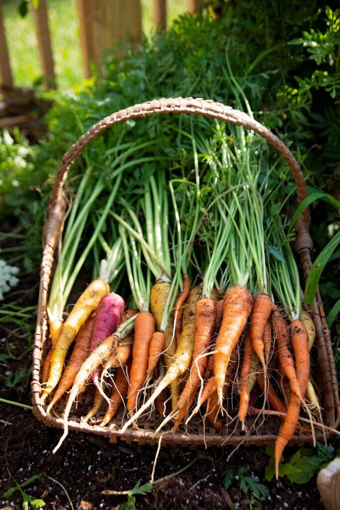 a basket of carrots in a garden