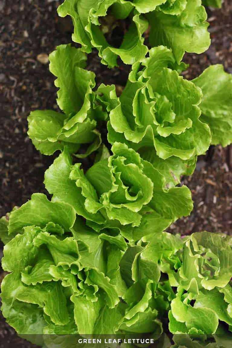 leaf lettuce growing in the garden