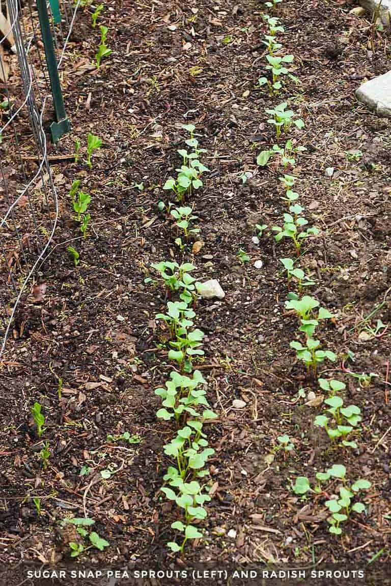 Snap pea and radish seedlings in the garden bed.