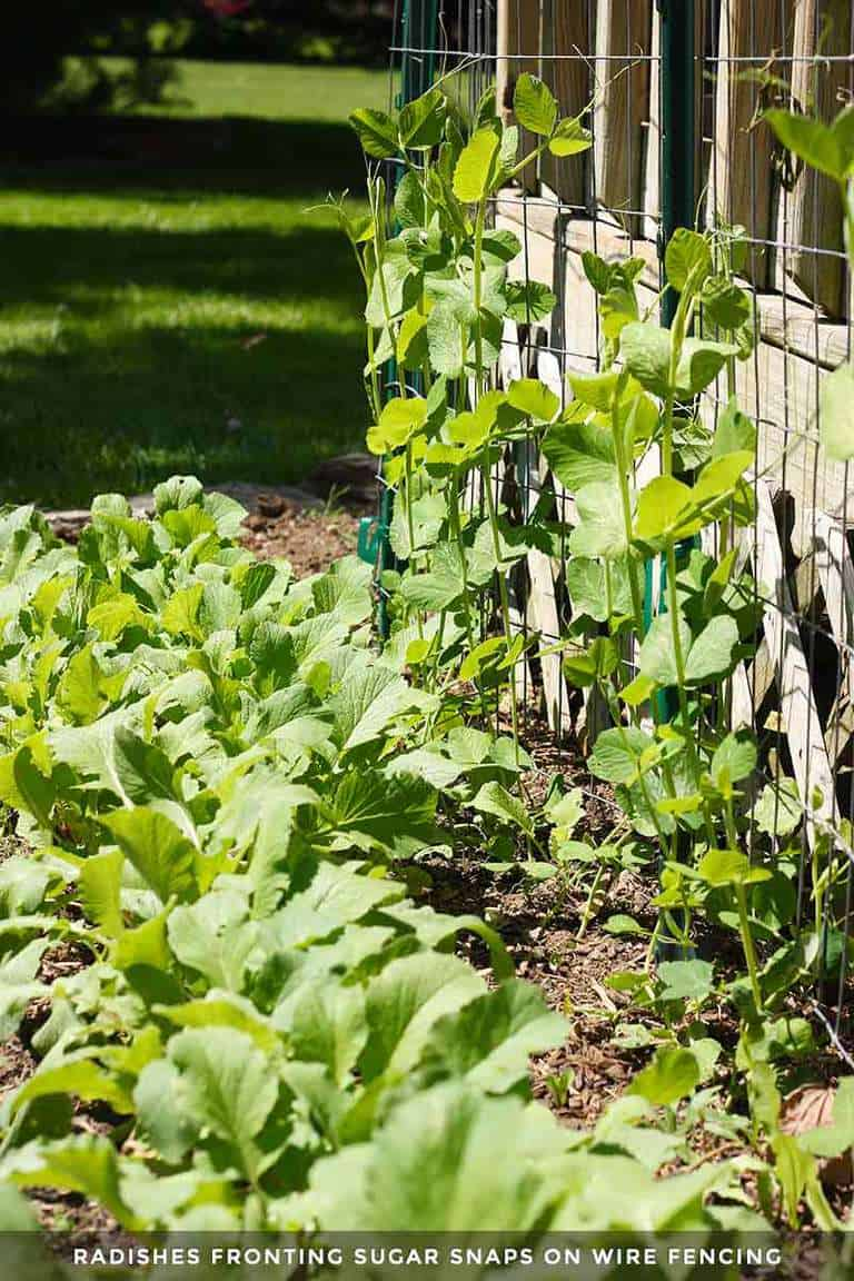 Spring radishes and sugar snap peas in the garden bed.