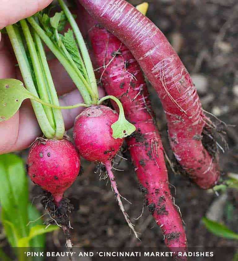 Radishes - one of spring's easy to grown vegetables - freshly picked from the garden.