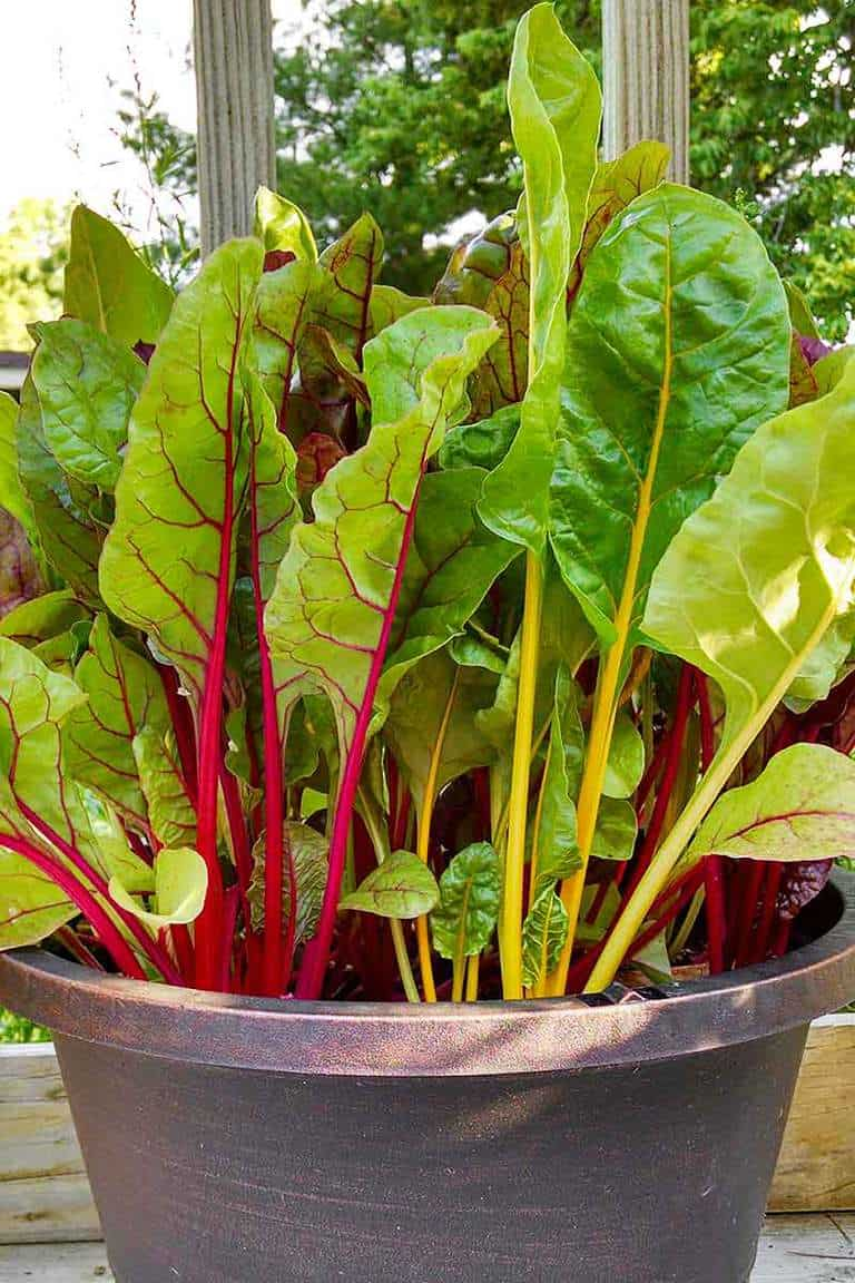 Looking for easy vegetables to grow in spring? Swiss chard is colorful and healthy.