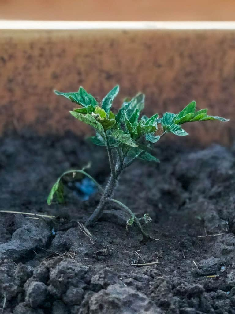 Young tomato plant in a garden box.