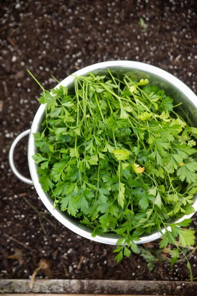 a bowl of parsley harvested for drying sitting in the soil