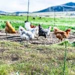 Group of laying hens walking across a field.