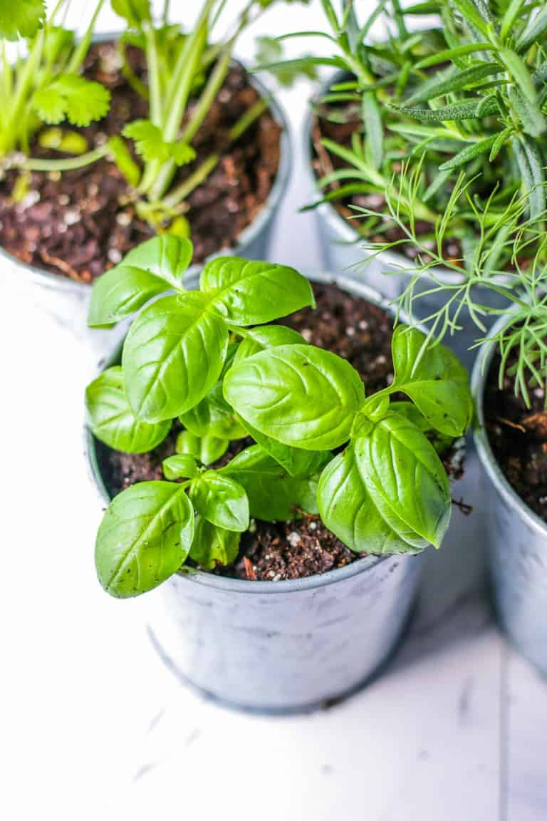 Small basil plant in a galvanized steel indoor pot.