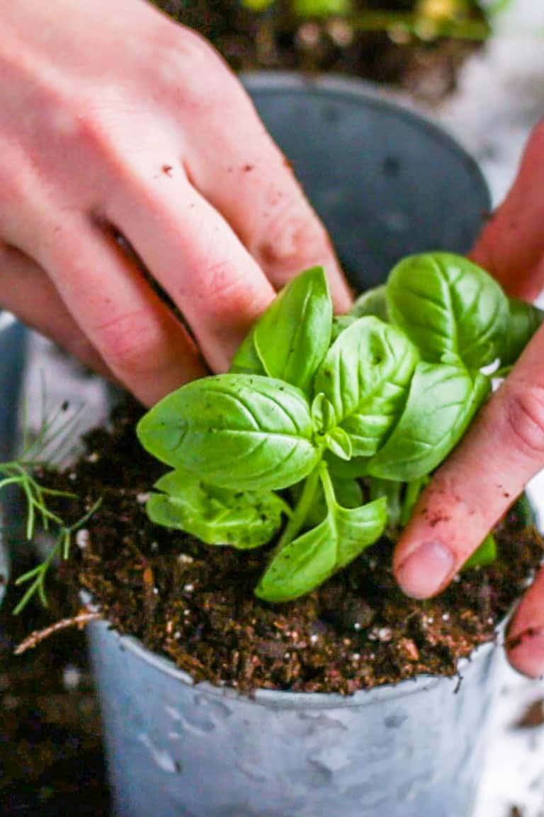 Packing dirt around a freshly planted basil plant in a small container for a window herb garden.