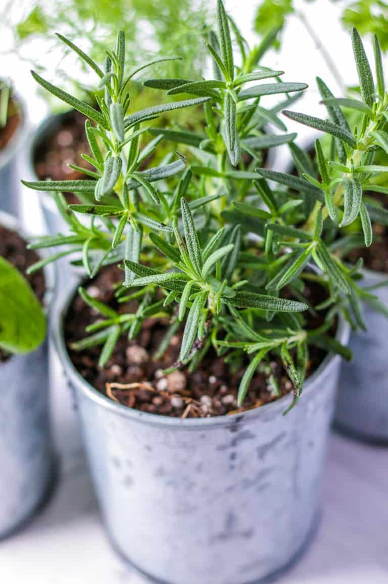Rosemary plant in a galvanized steel indoor pot.