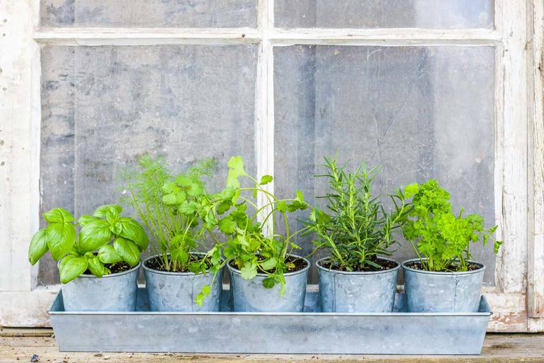 Window herb garden with Basil, Cilantro, Dill, Rosemary, and Parsley plants in small galvanized planters in a galvanized tray in front of a window.